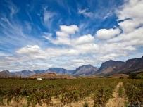 Cape Vineyards with mountains backdrop