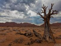 Dead Quiver tree in Richtersveld