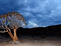 Quiver tree at sundown in Rightersveld