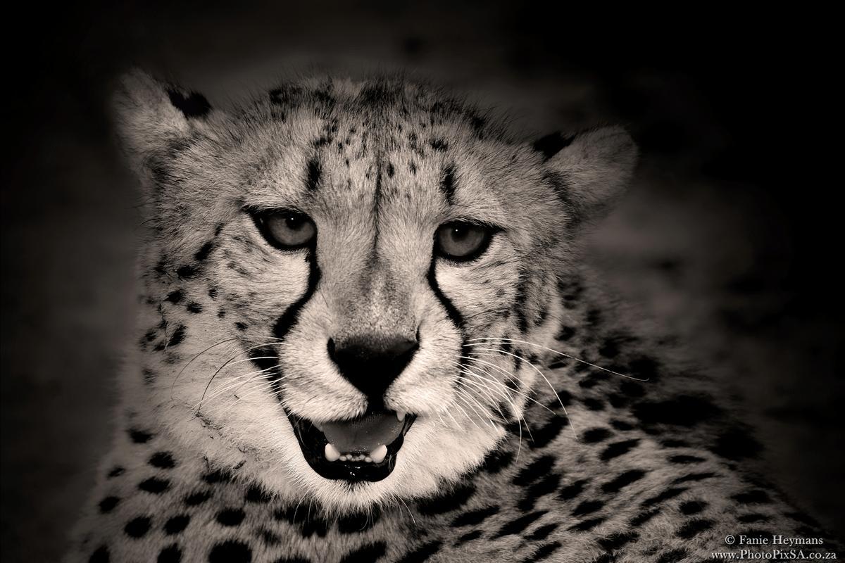 Cheetah Portrait in Kgalagadi