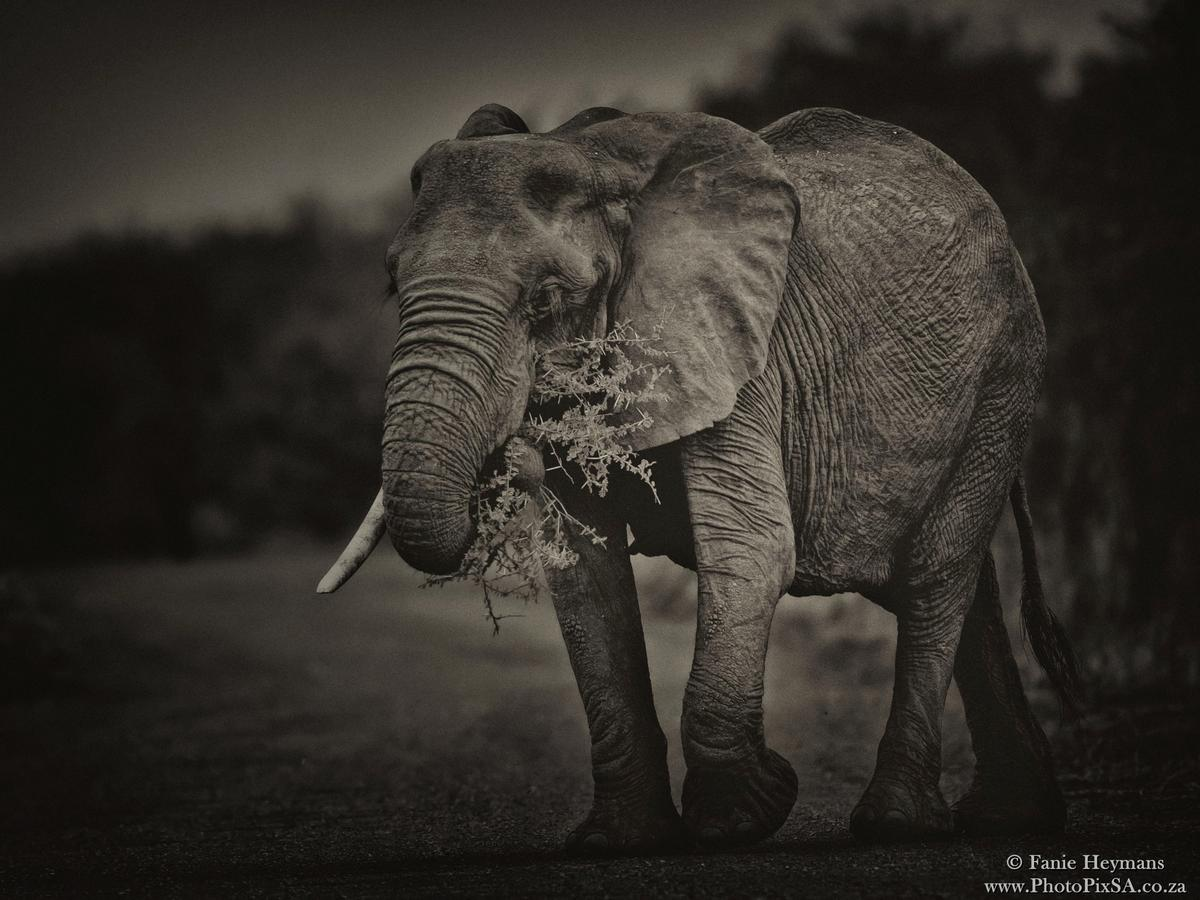 Elephant with tree branch