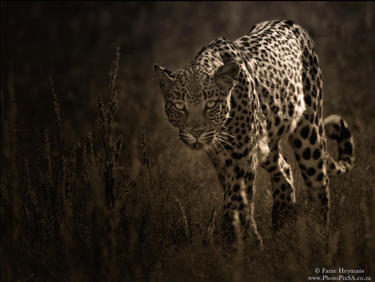 Leopard in Kgalagadi South Africa