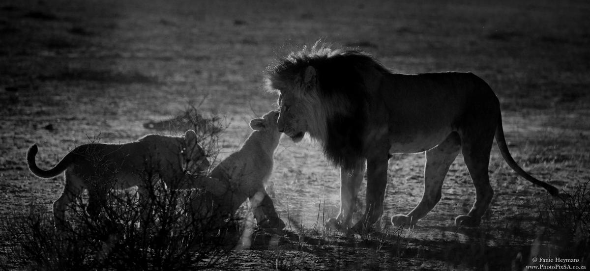 Male lion with cubs