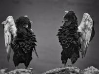 Two Bateleur Eagles show off
