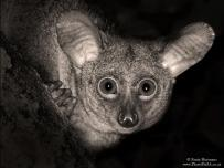 Bush Baby Portrait Africa