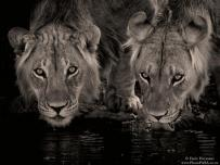 Lion Brothers Drinking Water Kgalagadi