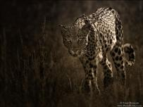 Leopard in Kgalagadi South Africa