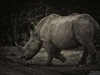 Rhino at Lower Sabie