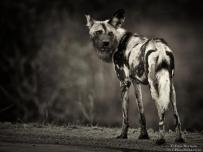 Wild dog or painted dog at Kruger