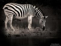 Zebra drinking water