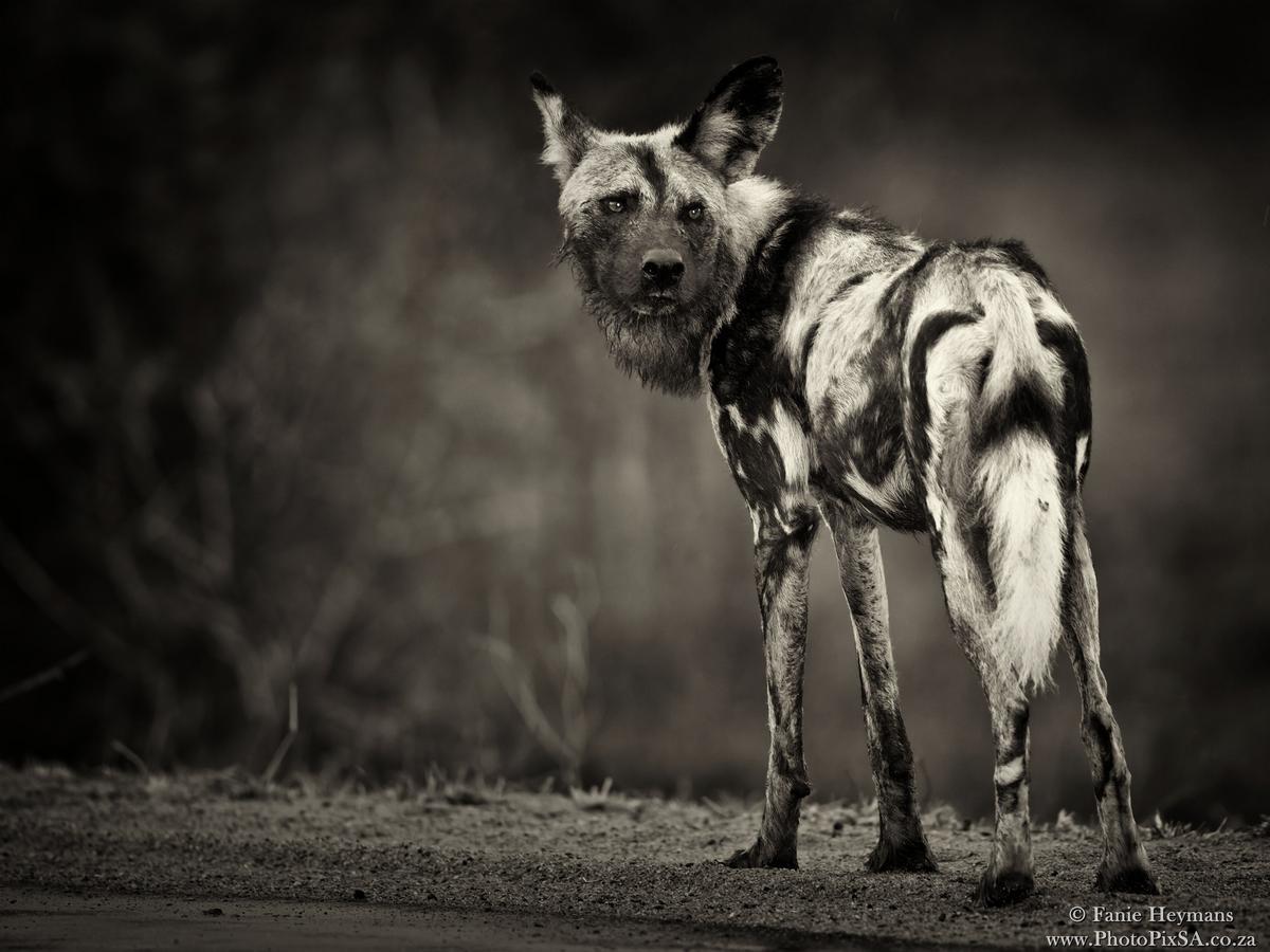 Wild dog or painted dog at Kruger