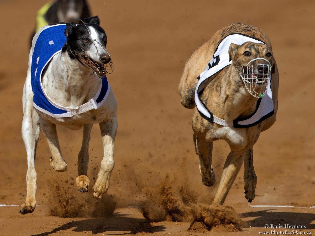 Greyhound dogs over the finish line