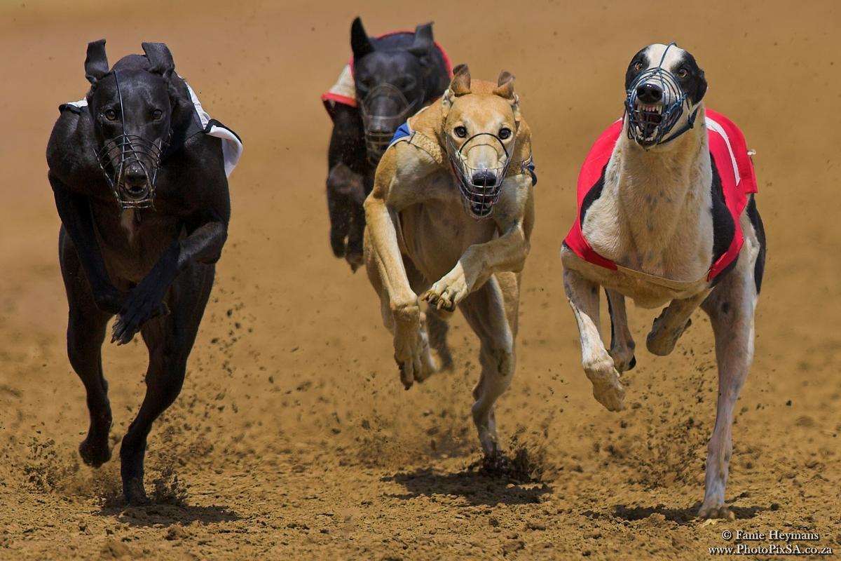 Greyhound dogs at high speed