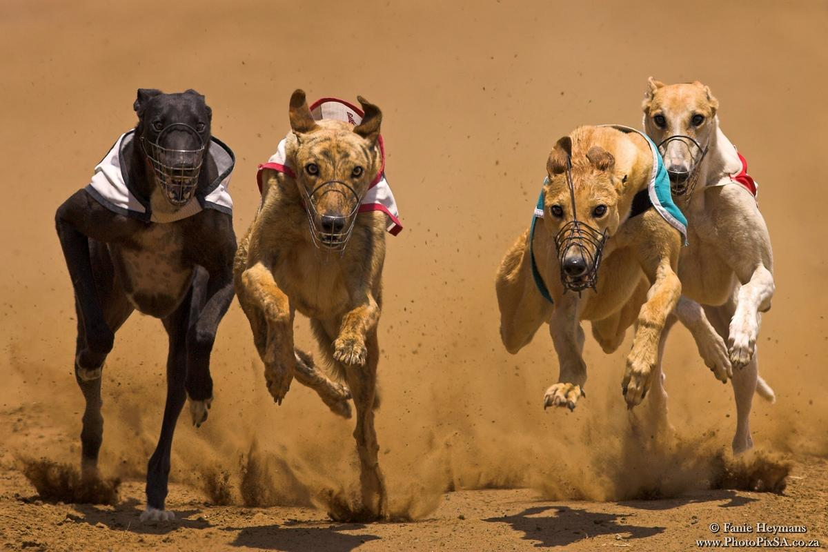 Greyhound pack on full speed