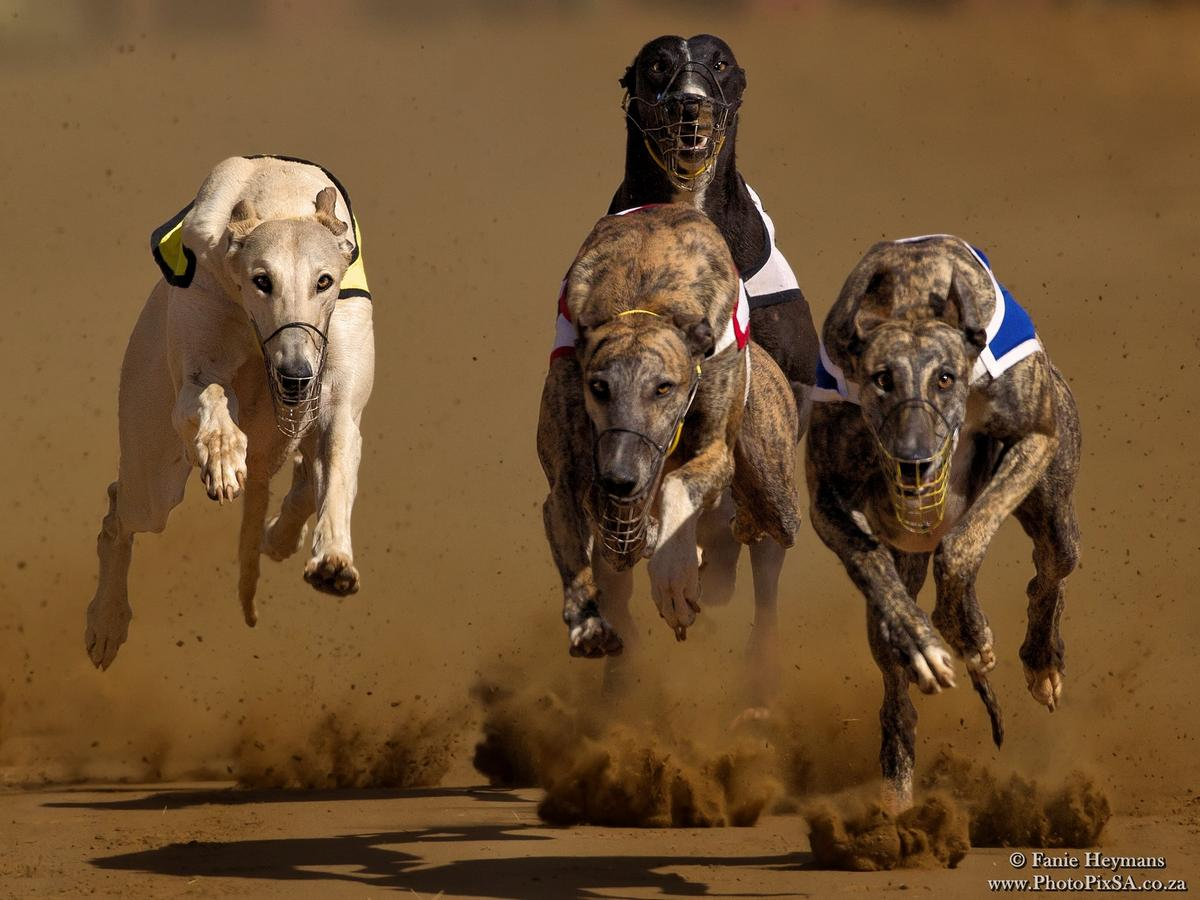 Brindle and white Greyhounds mid air