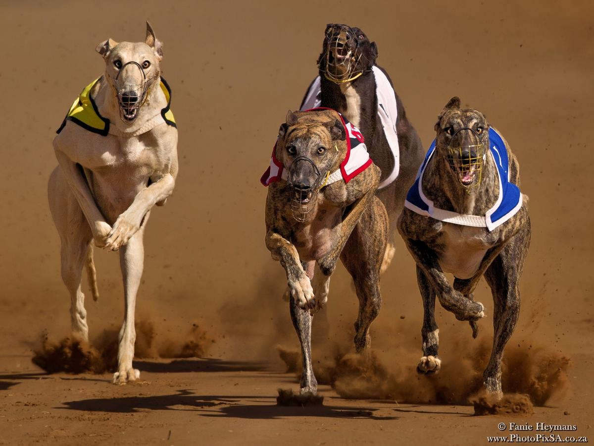 Greyhounds eating up the race track