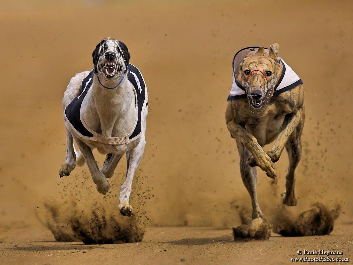 Greyhounds at top speed racing