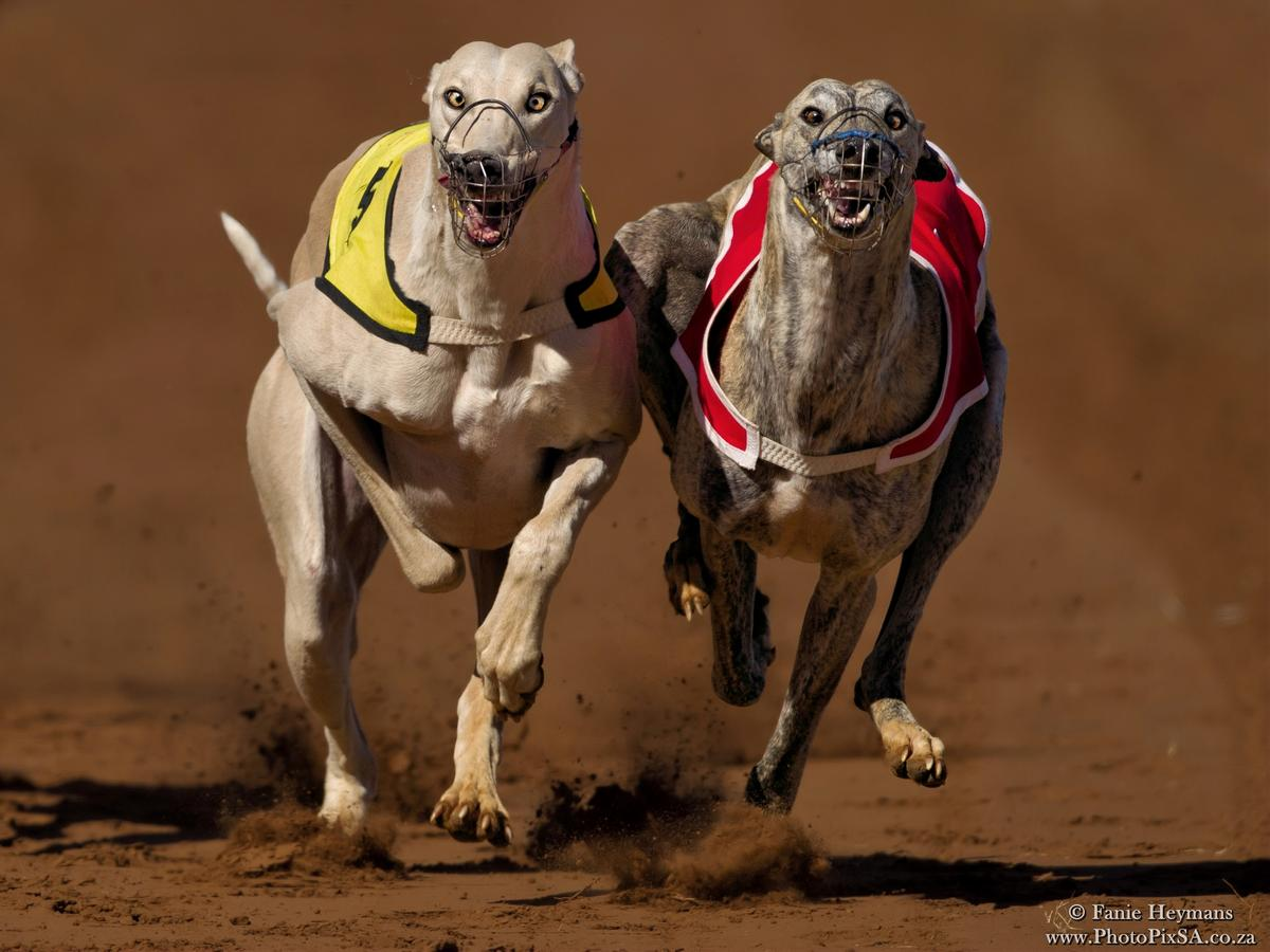 Big Boer Greyhounds heads on track
