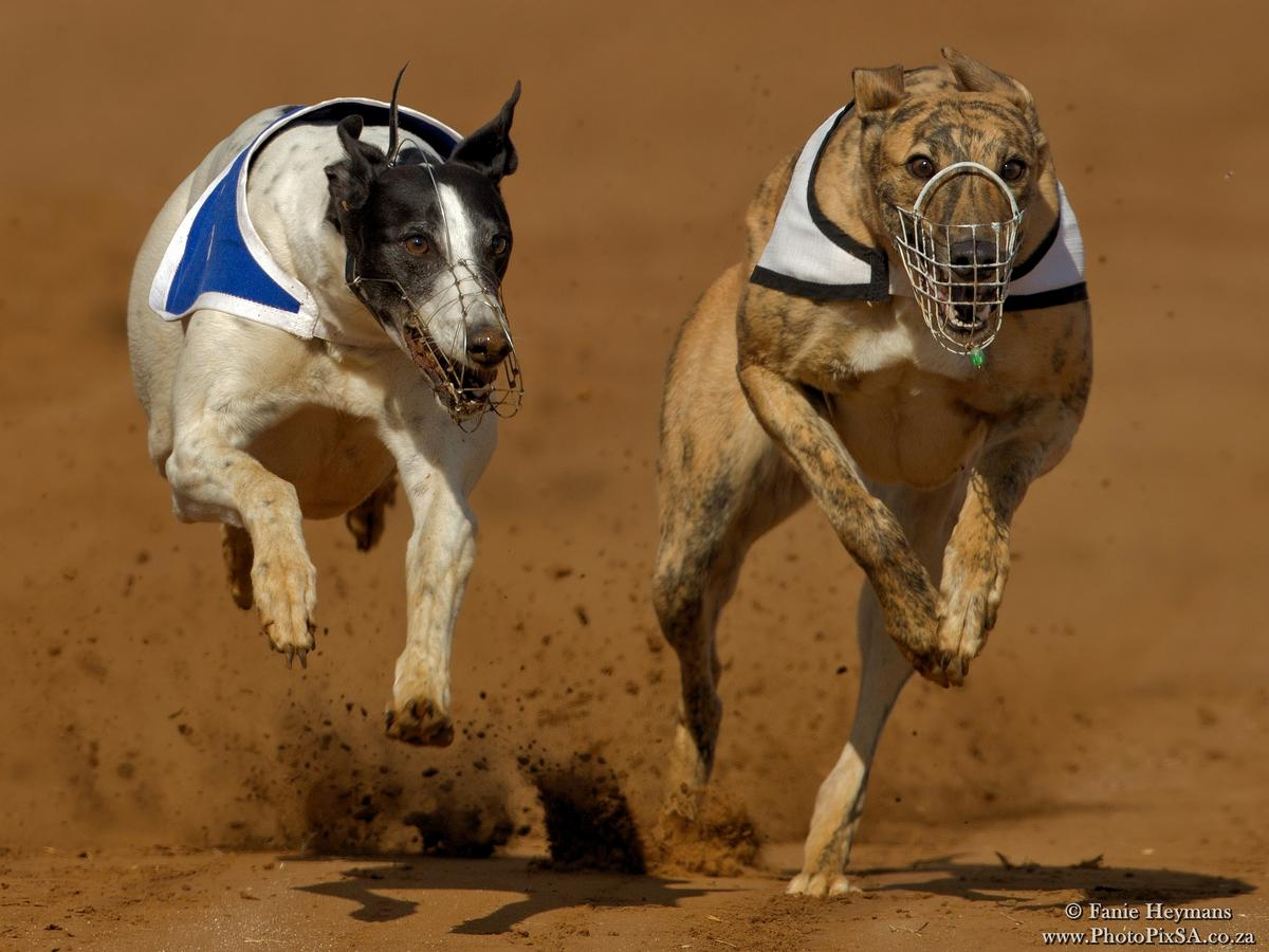 Speed Crazy Greyhounds