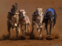 Greyhound dog race event