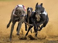 Greyhounds black fury
