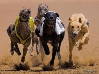 Greyhounds race in Africa