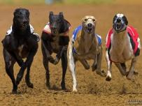Greyhound race dog runners