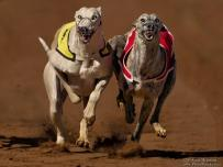 Big Boer Greyhounds heads on track