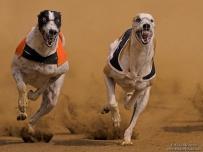 Lightning Fast Greyhounds