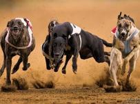 Muscular black Greyhound racing dog