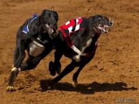 Two black Greyhound racing dogs