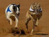 Speed Crazy Greyhounds