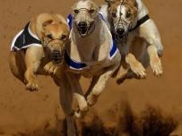 Greyhound Triplet