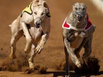 Windhond Race on Greyhound track