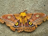 Big Emperor Moth