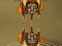 Honey Bee Reflection