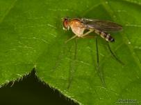 Long Legged Fly on leaf