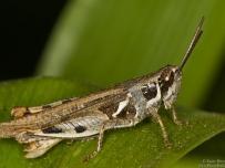 South African Grasshopper