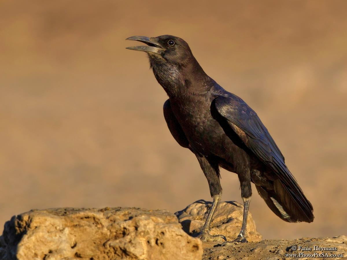 The Cape Crow calling a mate