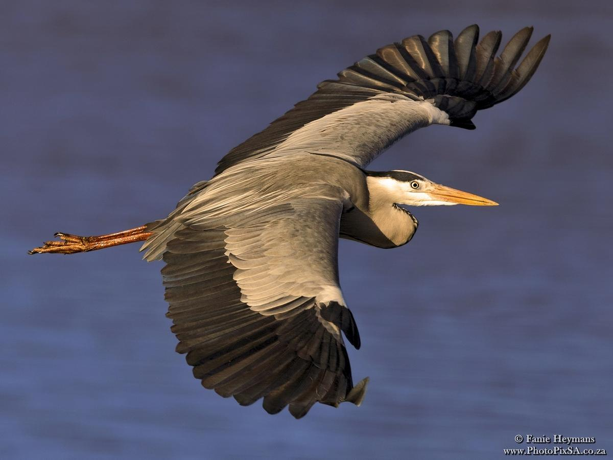 Grey Heron Fly-by