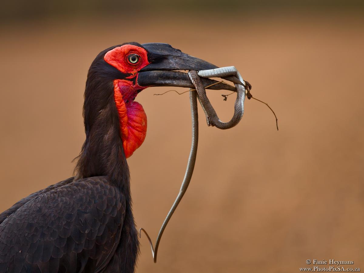 Ground Hornbill walking with snake in bill