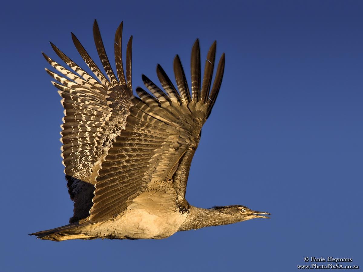 Kori Bustard in flight Biggest flying bird