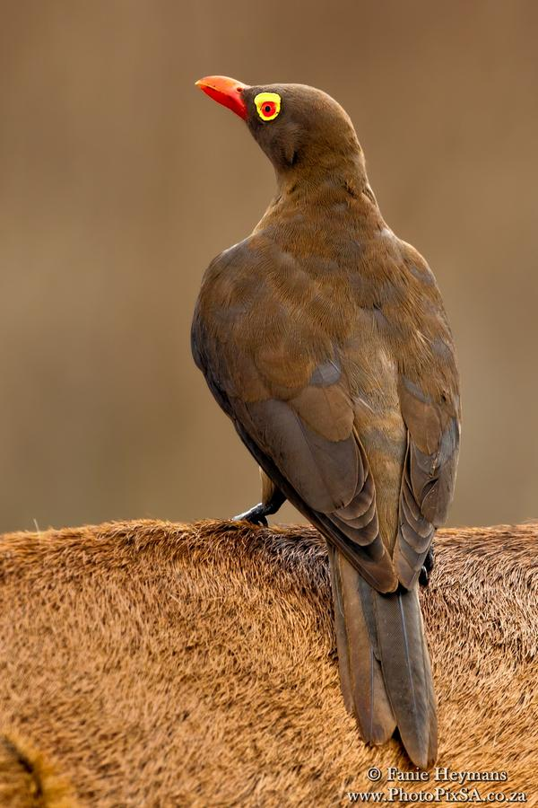 Red-billed Oxpecker sitting on a Rooibok