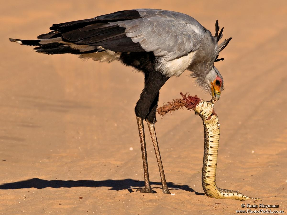 Secretary bird in Kgalagadi busy to torn a snake