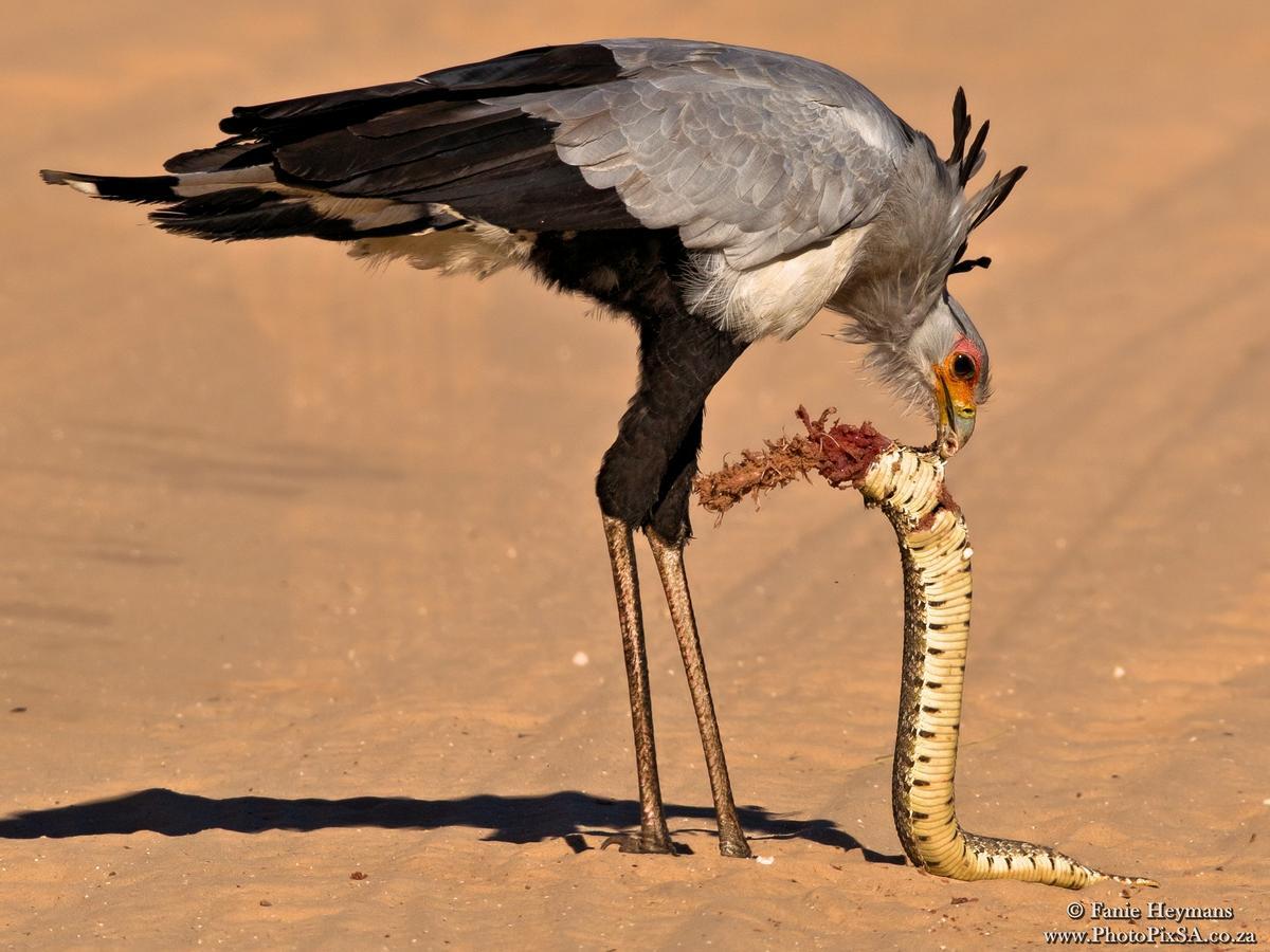 Secretary bird in Kgalagadi busy to torn a snake