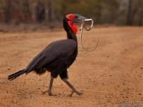 Southern Ground Hornbill with snake