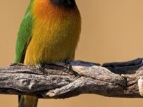 Litlle Bee-eater Portrait