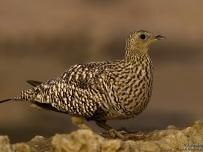Namaqua Sandgrouse Female on Rock