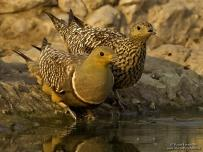 Sandgrouse Male and Female Drinking water