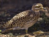 Spotted Thick-Knee or Dikkop sitting down